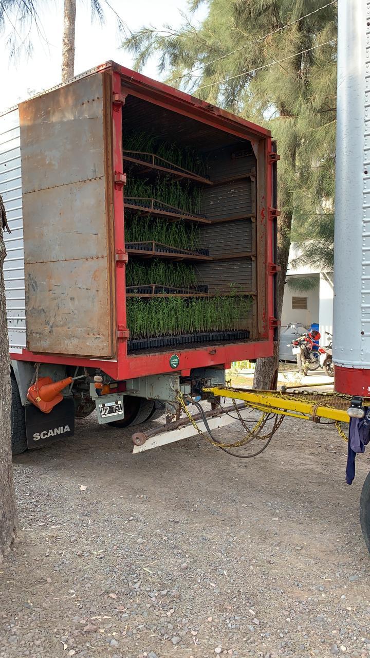 Envio de plantines de algarrobo